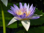 Waterlelies, rode lotus en witte iris
